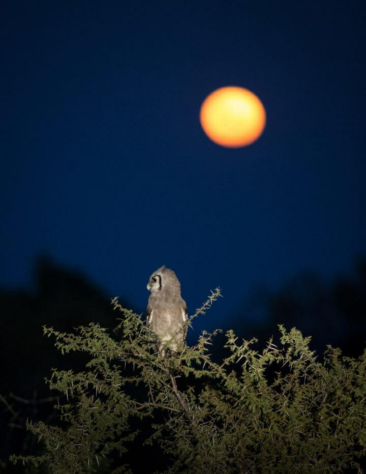 Giant Eagle Owl Moon Jt