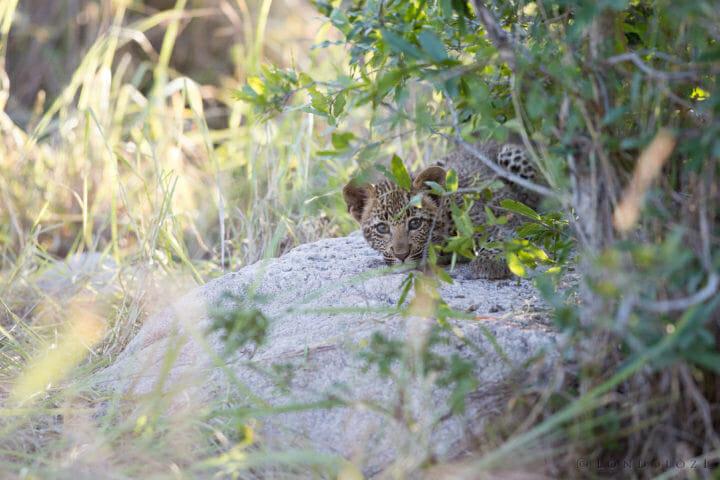 Nhlanguleni Leopard Cub Jt