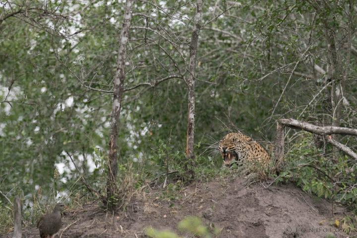 Tamboti Leopard Cub Gb 2