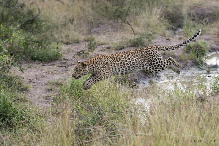 Tamboti Leopard Cub Gb 7