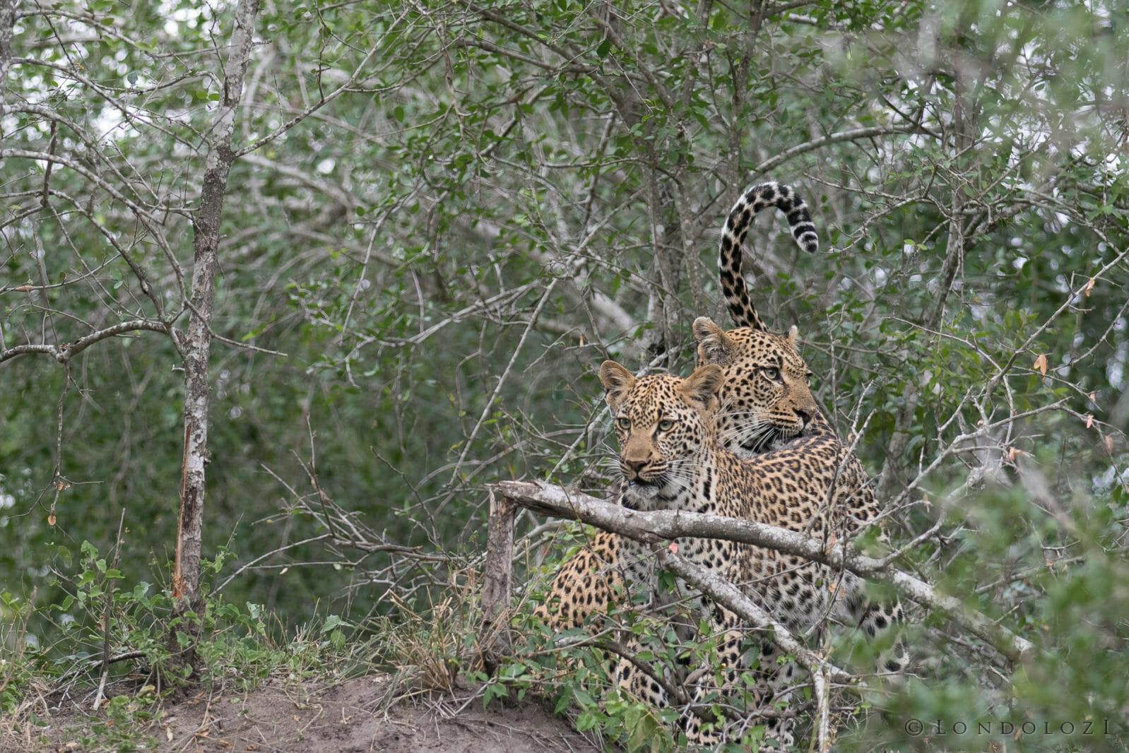 Tamboti Leopard Cub Gb 4