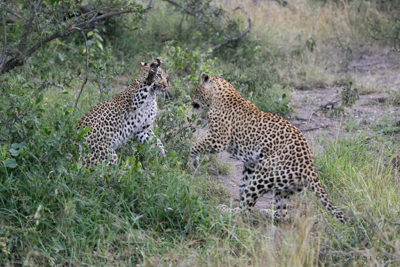 Tamboti Leopard Cub Gb 8