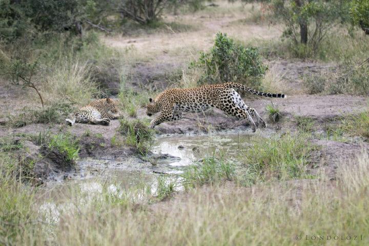 Tamboti Leopard Cub Gb 9