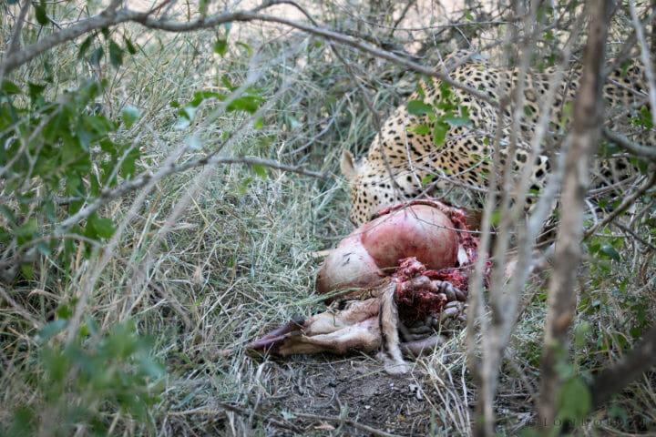 Mashaba Cheetah Leopard Gb 2