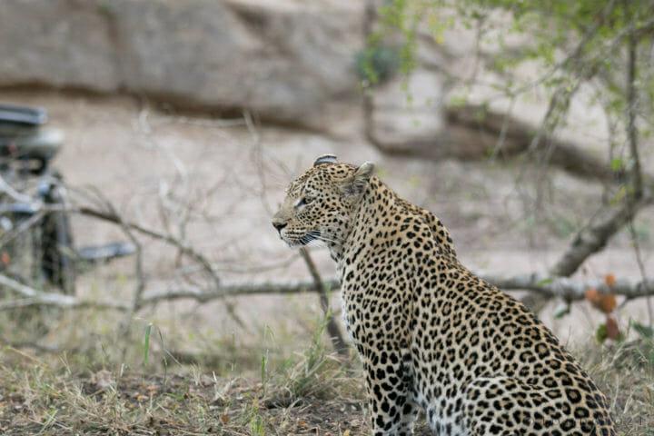 Mashaba Cheetah Leopard Gb 3