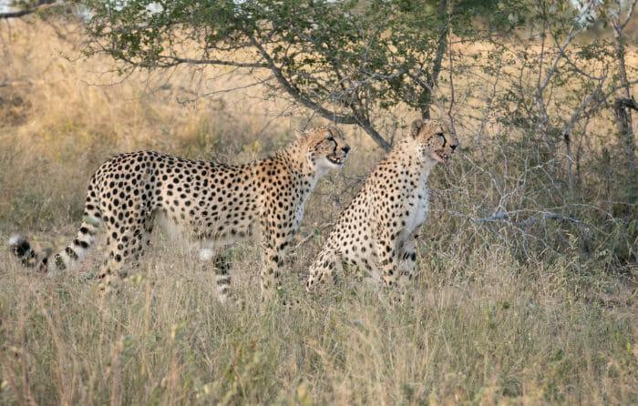 Mashaba Cheetah Leopard Gb