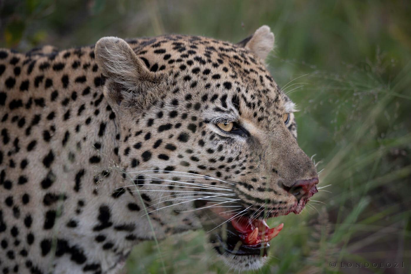 Flat Rock leopard Brock Cartlidge