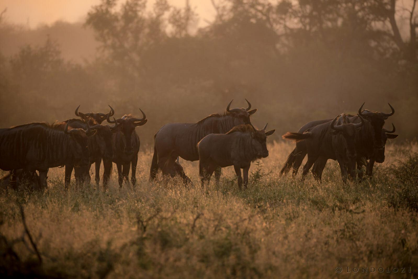 Wildebeest Brock Cartlidge