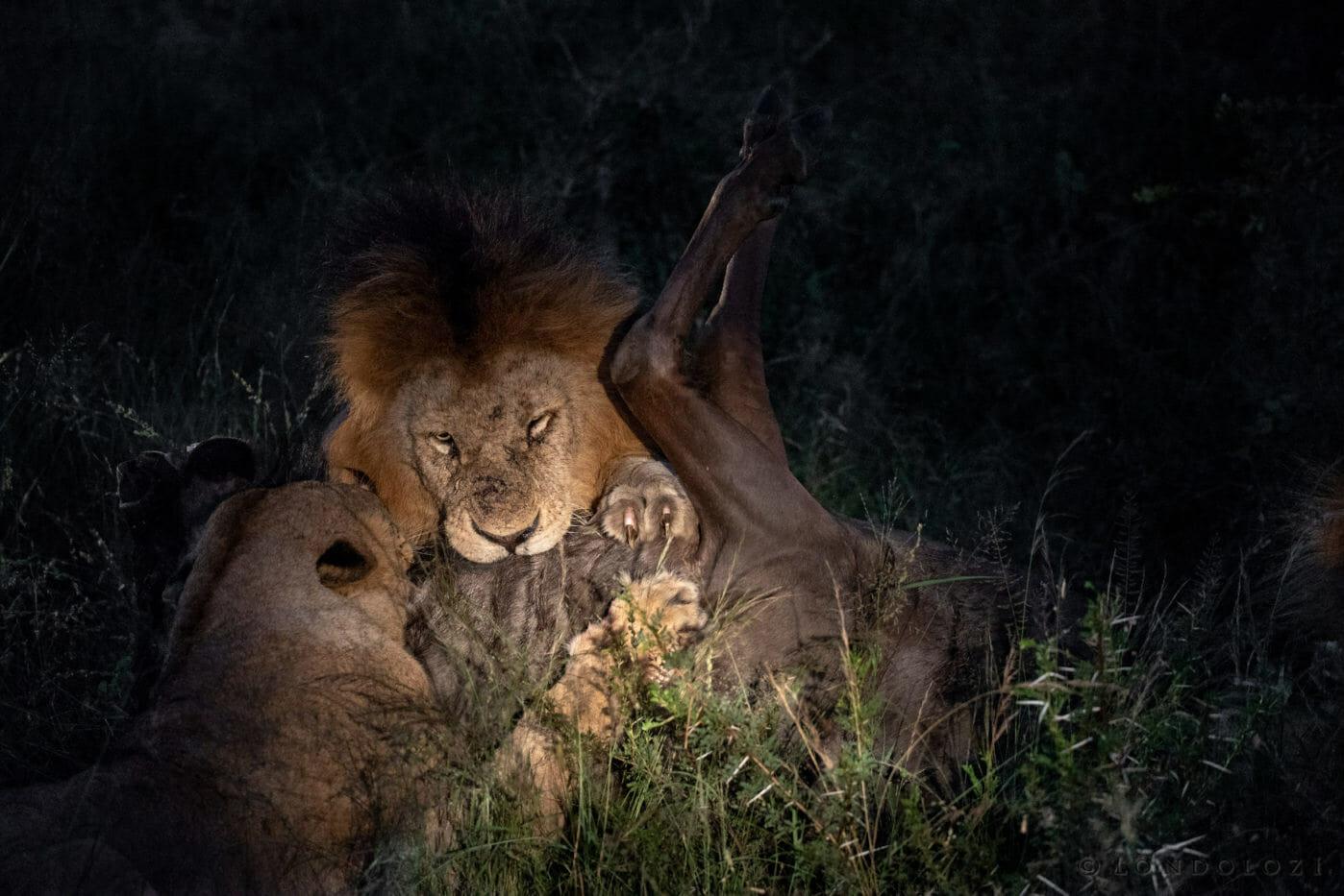 Birmingham lion wildebeest Brock Cartlidge