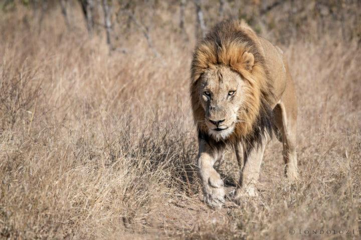 Birmingham, Male lion - AJ 2018