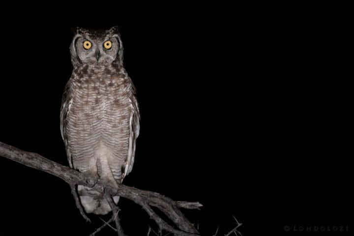 Spotted eagle owl - AJ 2018