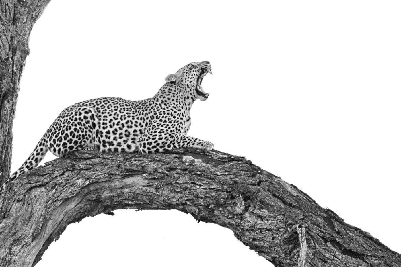 Nkoveni, yawn, dead tree - AJ 2018