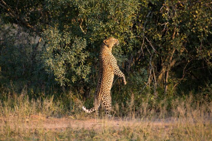 Mashaba Leopard Scent Jt