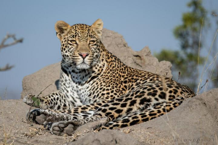 Hosana, male leopard - AJ 2018