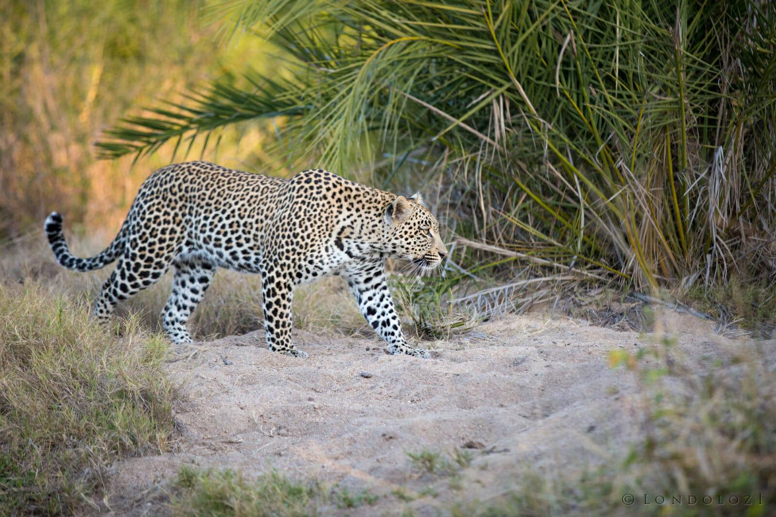 Hosana Leopard Jt1