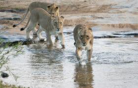 Mhangeni Cross River Knock Impala 3jt 2