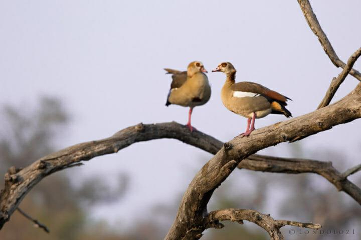 Egyptian Goose Jt