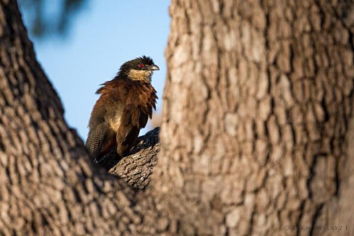 Burchells Coucal Bird Jt