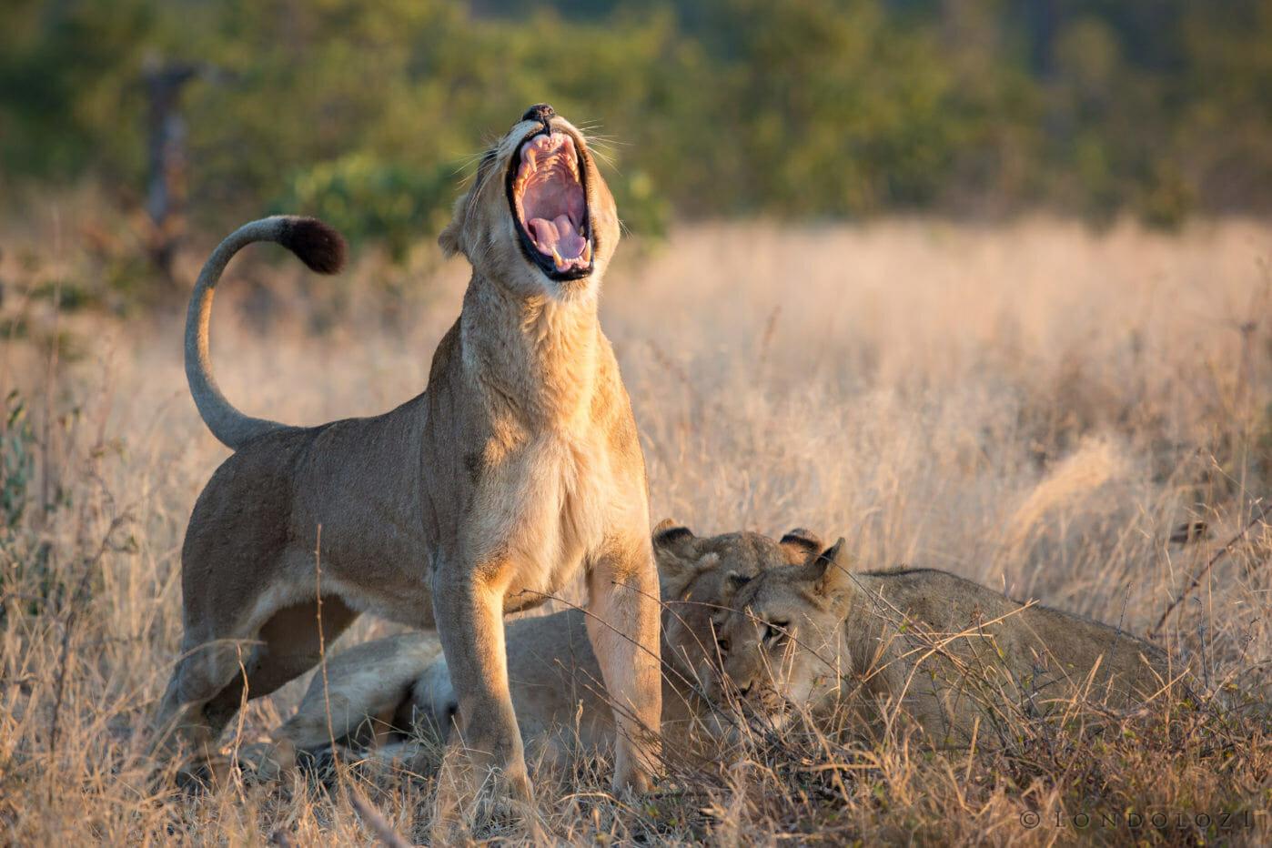 Mhangeni Lioness Yawn Jt
