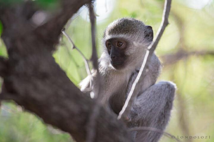 Monkey Jt