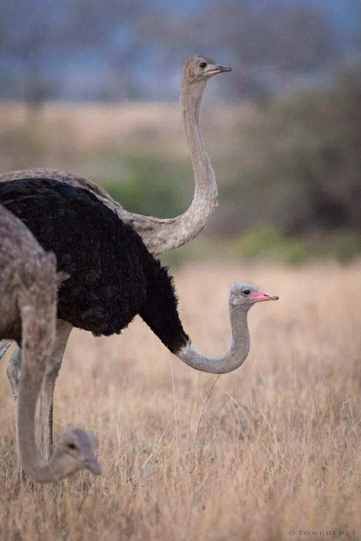 Ostriches Jt