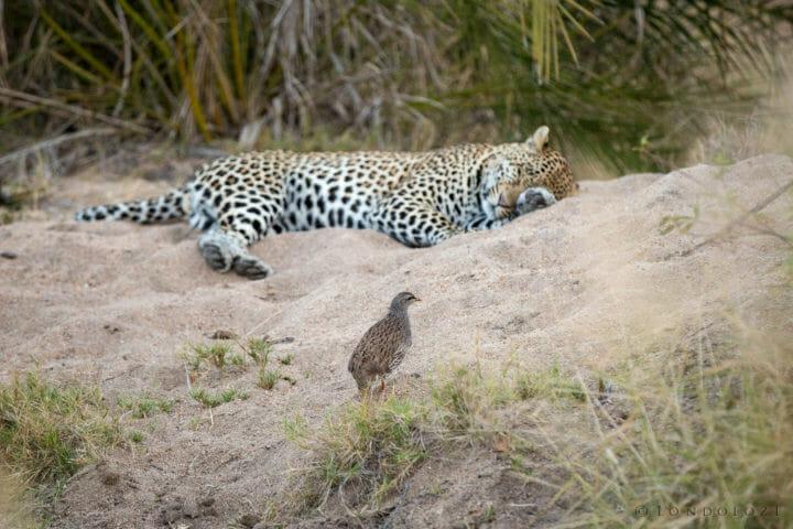 Francolin Hosana Leopard Jt