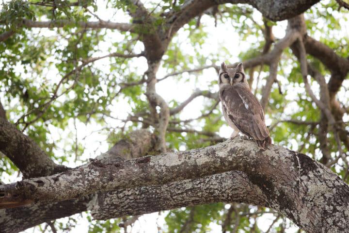 Giant Eagle Owl Jt