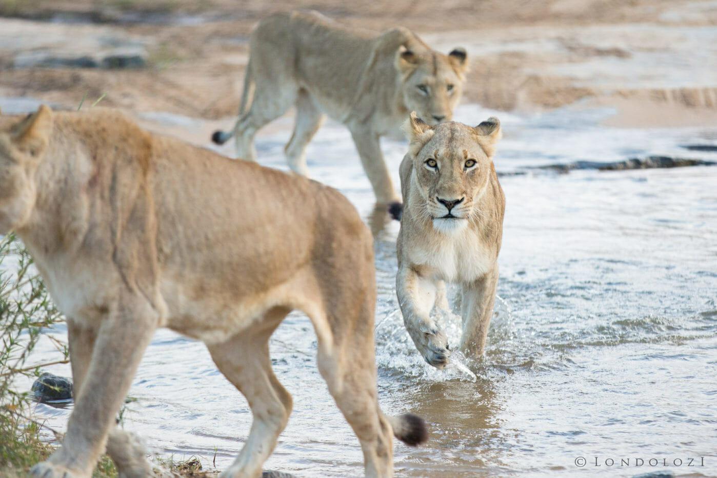Mhangeni Lioness Cross Sand River Jt