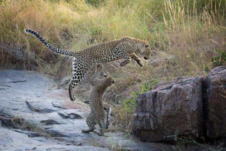 Makomsava Female Nanga Leopard Jt