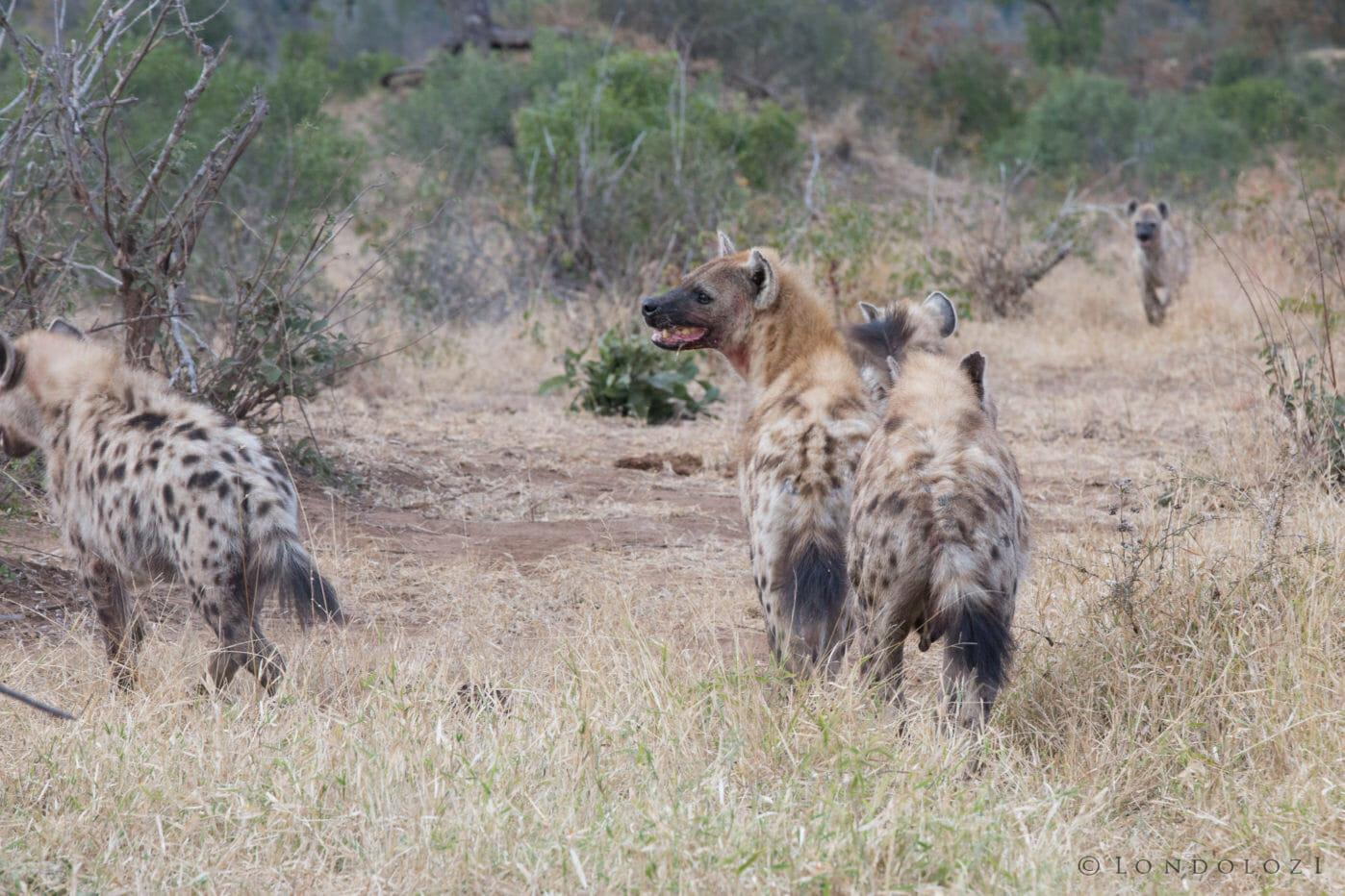 Hyenas Clash 2 Jt 4