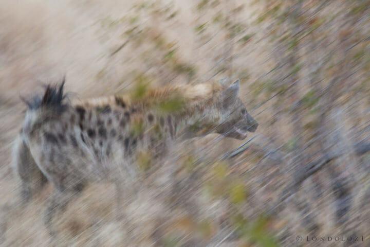 Hyenas Clash Jt