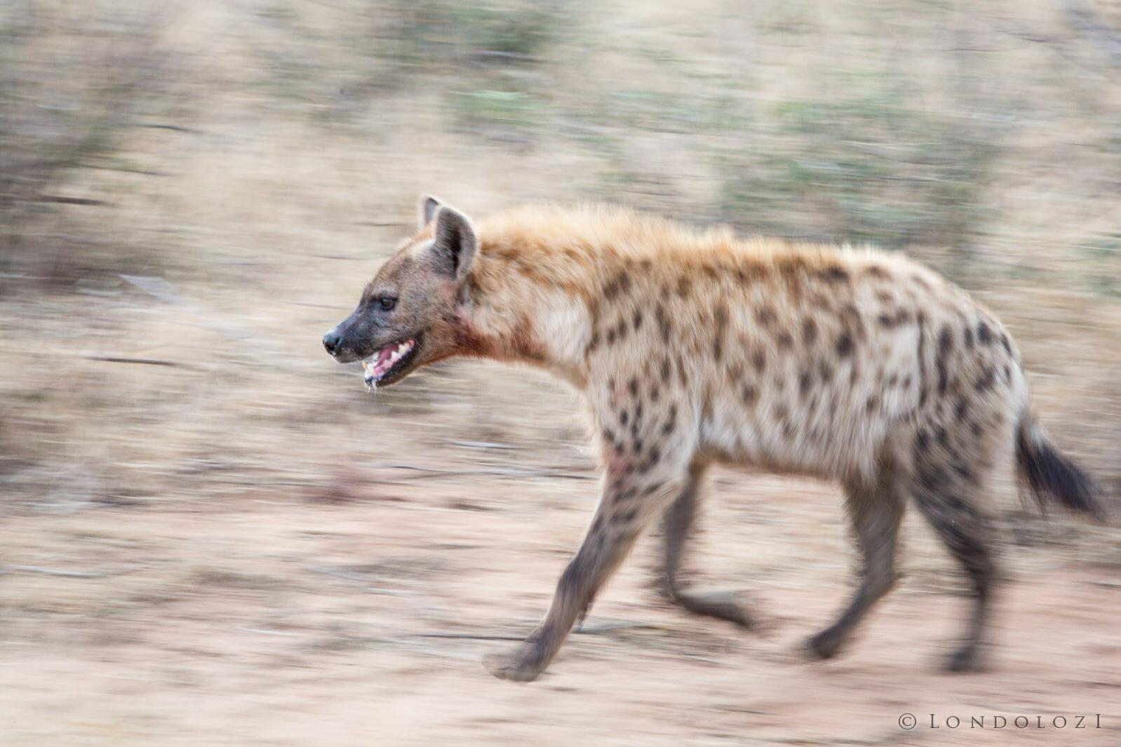 Hyenas Clash 3 Jt