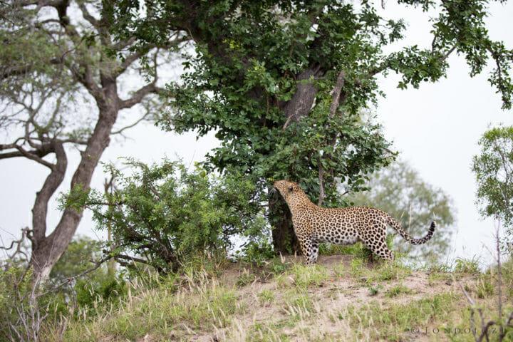 Mashaba Leopard Sniff Jt
