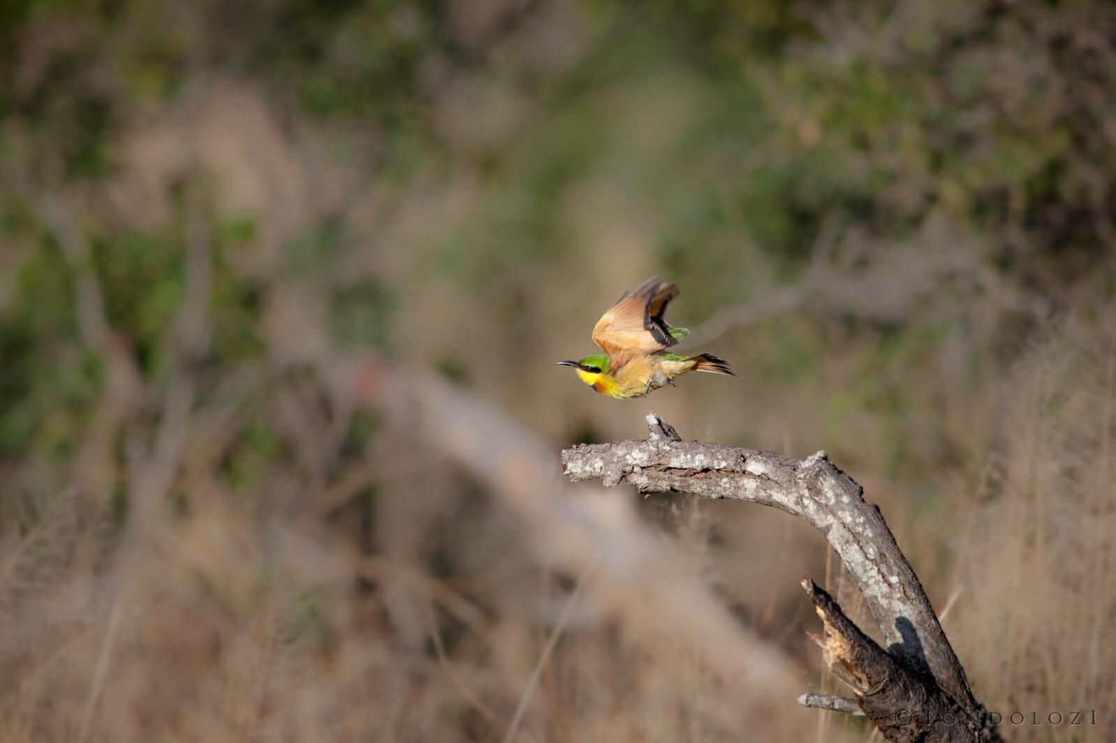 bird, little bee-eater, fly