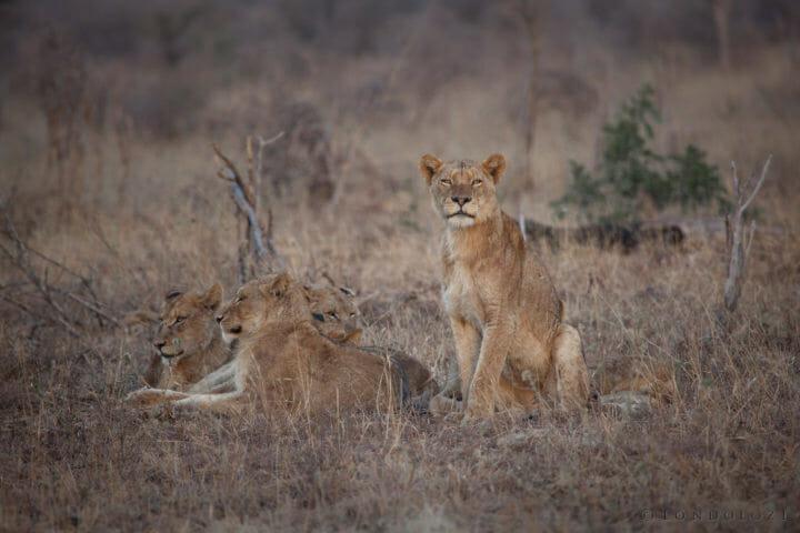 Lion, pride, mungheni, mangheni,