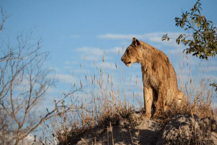 Lion, mungheni pride, termite mound