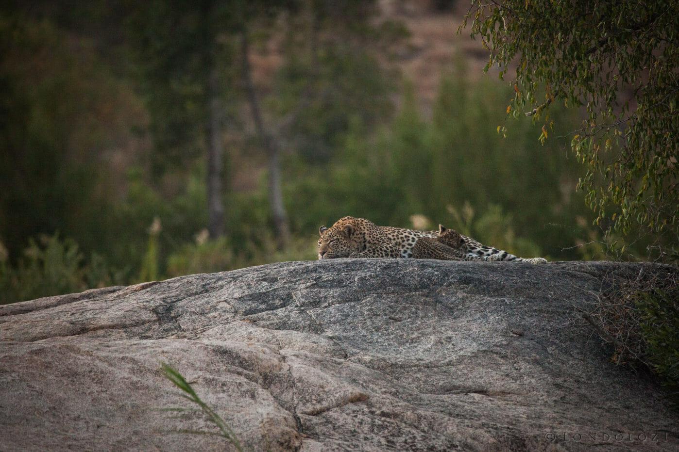 Nkoveni female leopard, cub, nursing, suckling, plaque rock, Sand River
