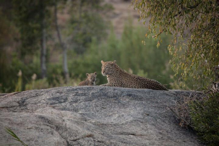 Nkoveni female leopard, cub, plaque rock, Sand River