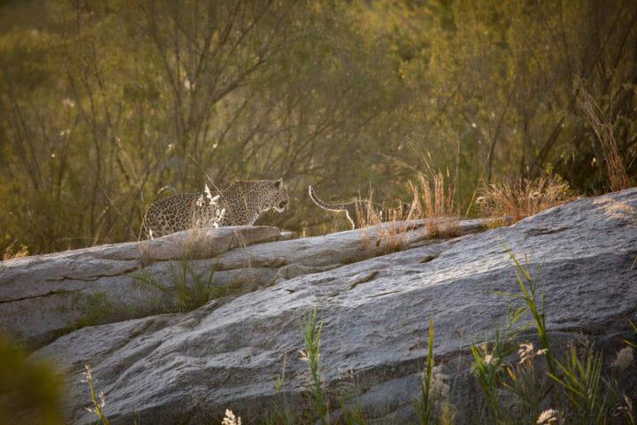 Nkoveni female leopard cub boulders sand river