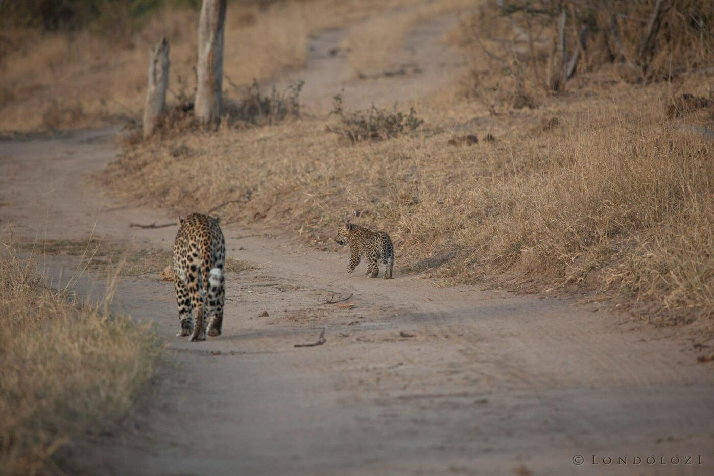 Nkoveni female leopard, cub, PT 2018