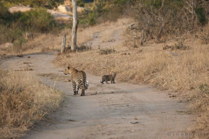 Nkoveni female leopard cub lower river road PT 2018