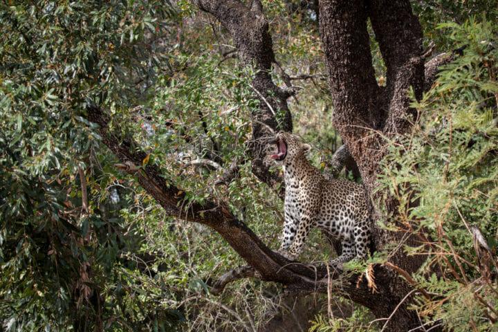 Mashaba female leopard, yawn, tree