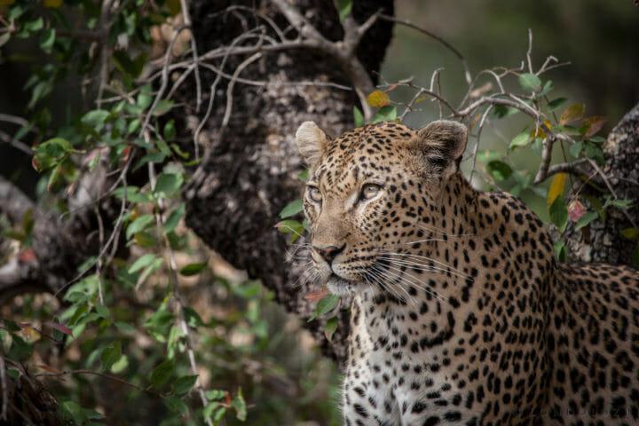Mashaba female leopard, eyes,