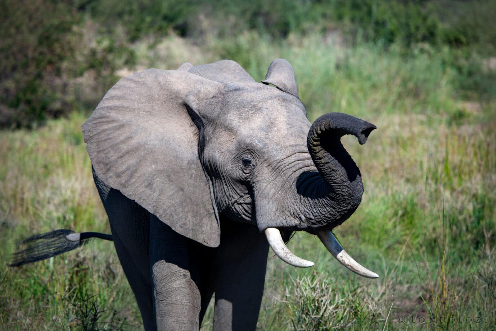 Elephant, sand river, finfoot