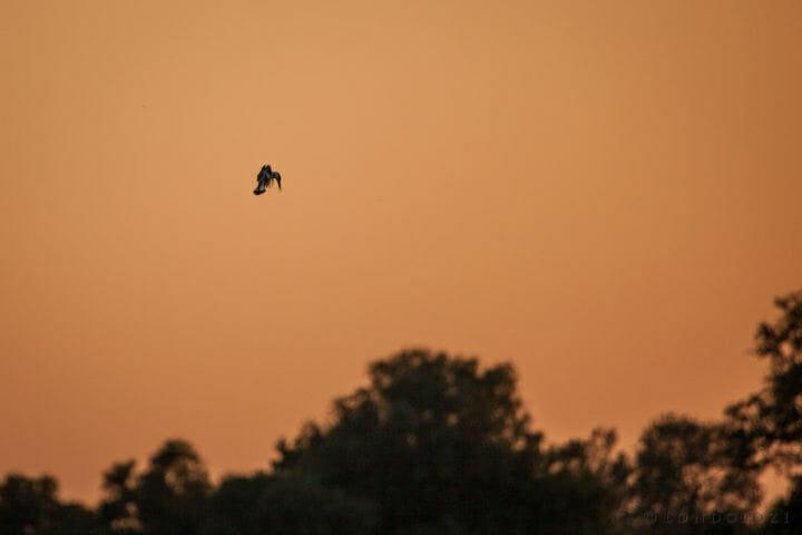 Pied Kingfishers, causeway, sunset, bird