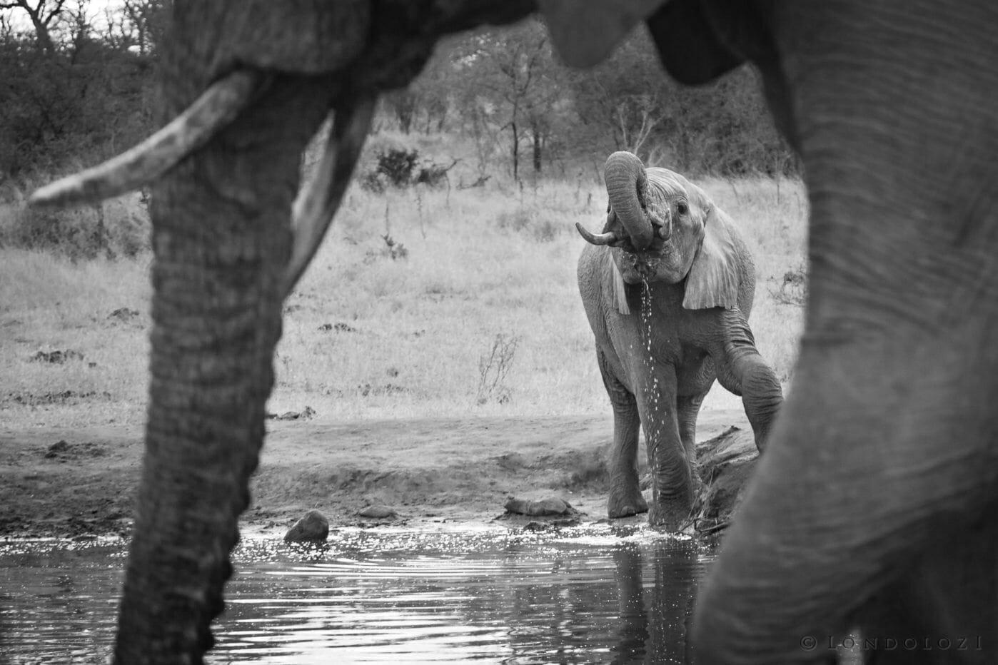 Elephant, drinking, trunk, frame, waterhole, black and white