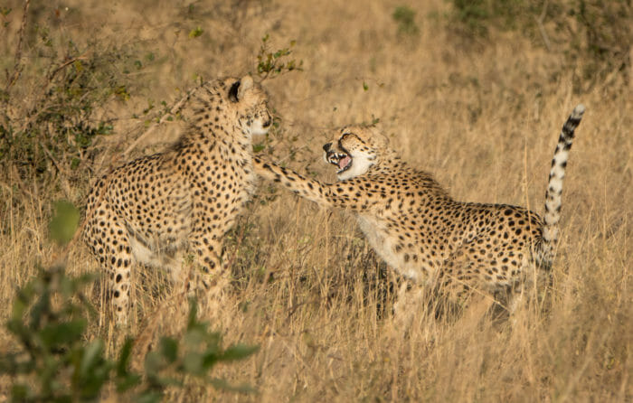 Cheetah Mother And Two Grant Rodewijk 5 Of 7