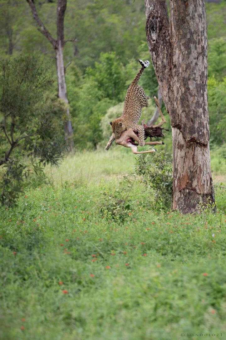 Tutlwa Leopard Jump Jt 2