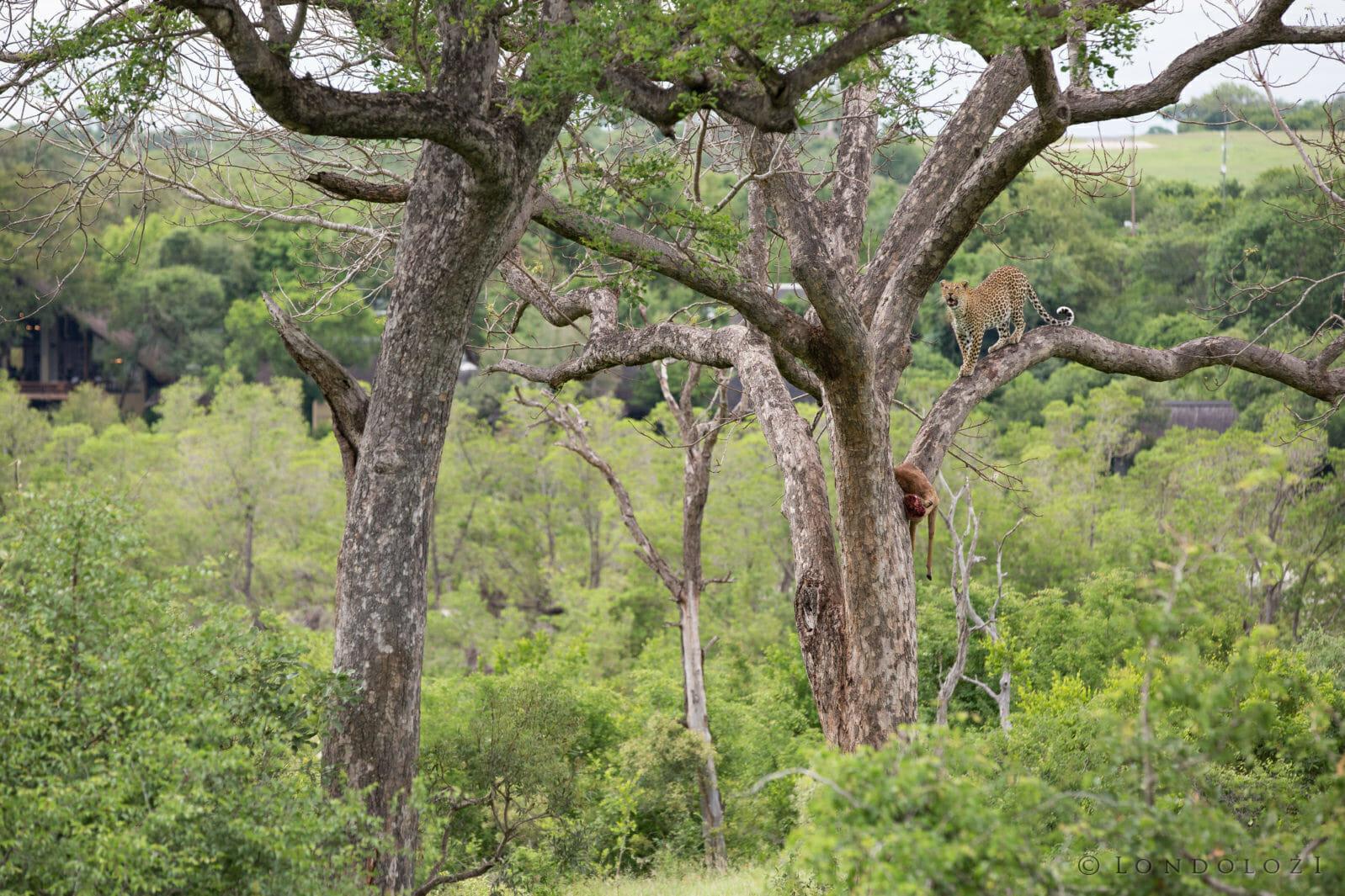 Tutlwa Leopard Jump Jt