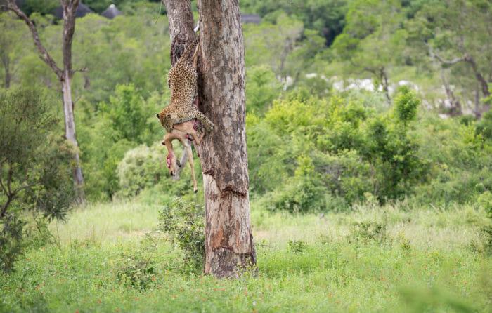 Tutlwa Leopard Jump 2 Jt